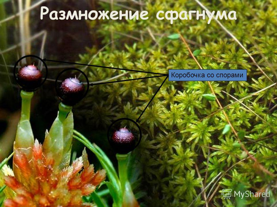 Размножение сфагнума Коробочка со спорами