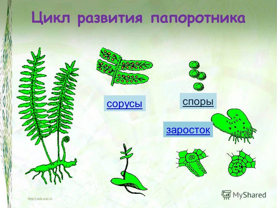 Цикл развития папоротника сорусы споры заросток