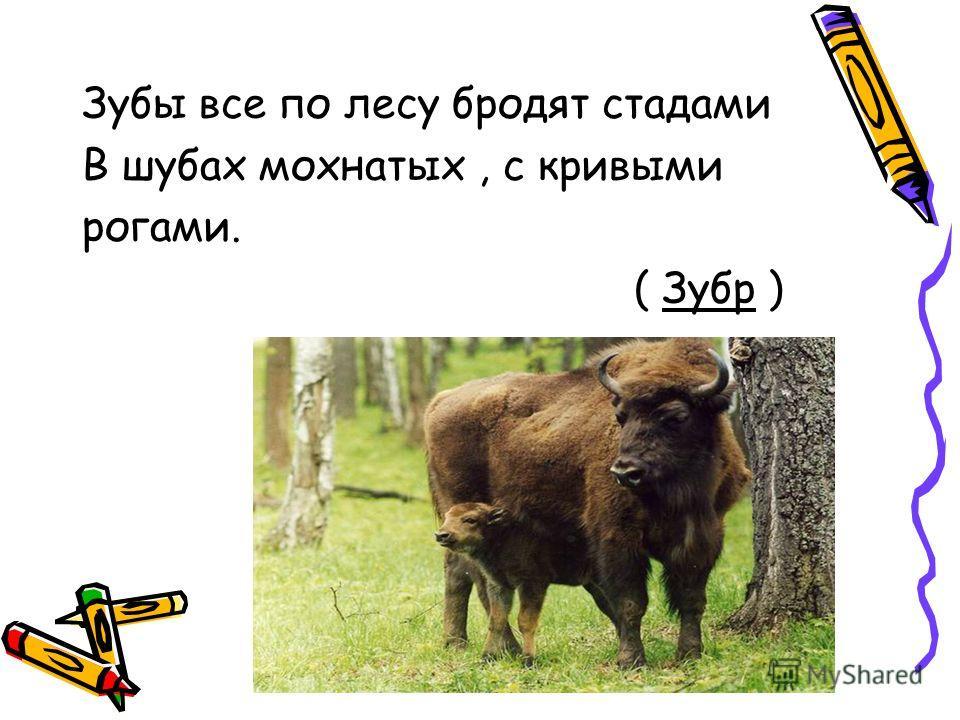 Зубы все по лесу бродят стадами В шубах мохнатых, с кривыми рогами. ( Зубр )