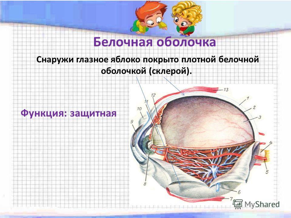 Белочная оболочка Снаружи глазное яблоко покрыто плотной белочной оболочкой (склерой). Функция: защитная