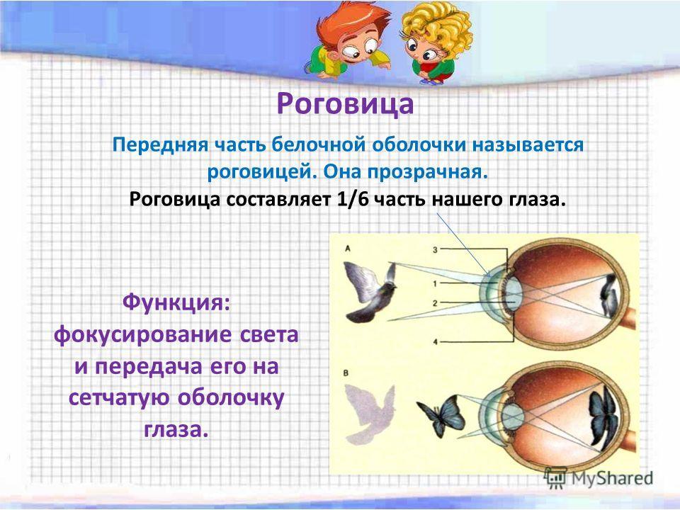 Роговица Передняя часть белочной оболочки называется роговицей. Она прозрачная. Роговица составляет 1/6 часть нашего глаза. Функция: фокусирование света и передача его на сетчатую оболочку глаза.