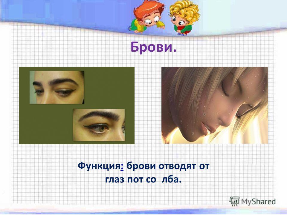 Брови. Функция: брови отводят от глаз пот со лба.:
