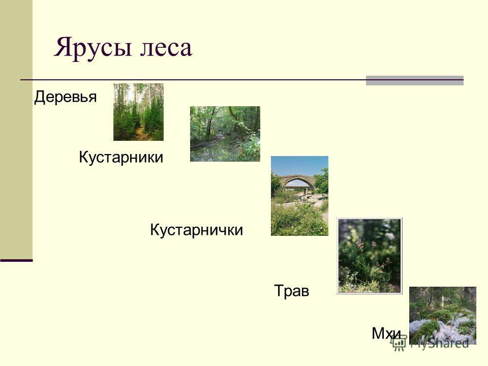 Ярусы леса Деревья Кустарники Кустарнички Трав Мхи