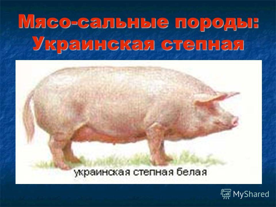 Мясо-сальные породы: Украинская степная