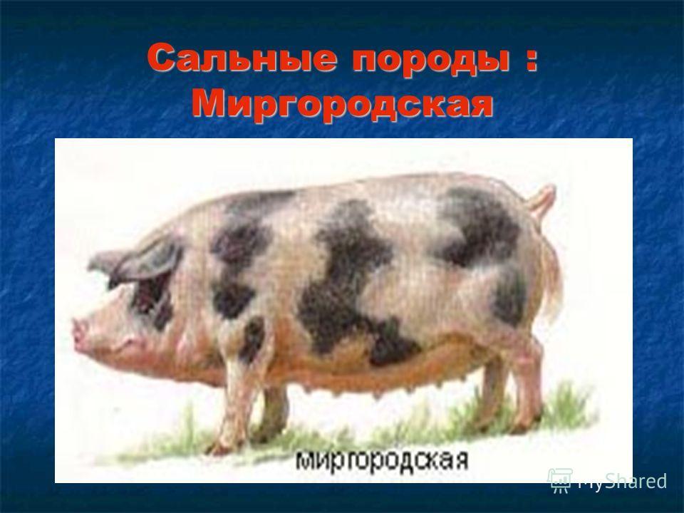 Сальные породы : Миргородская