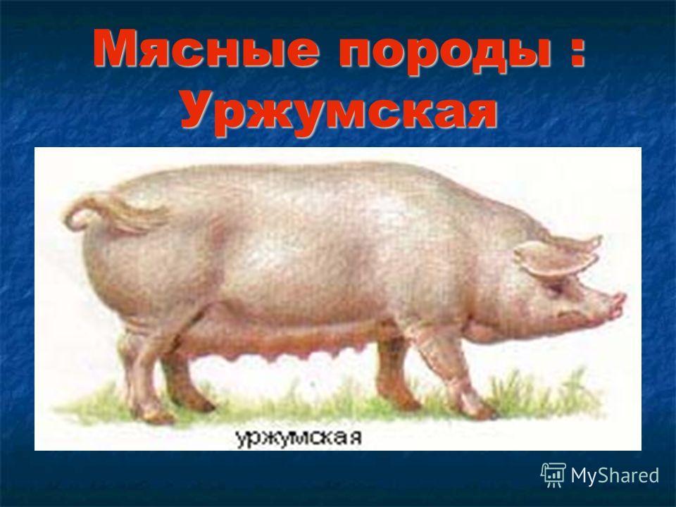 Мясные породы : Уржумская