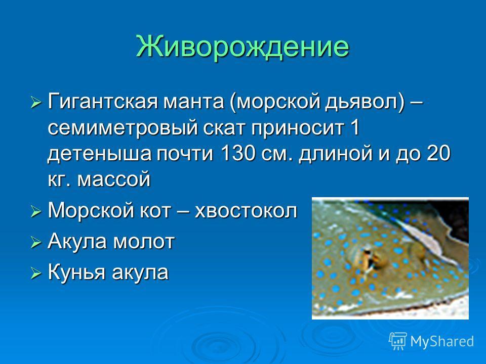 Живорождение Гигантская манта (морской дьявол) – семиметровый скат приносит 1 детеныша почти 130 см. длиной и до 20 кг. массой Гигантская манта (морской дьявол) – семиметровый скат приносит 1 детеныша почти 130 см. длиной и до 20 кг. массой Морской к