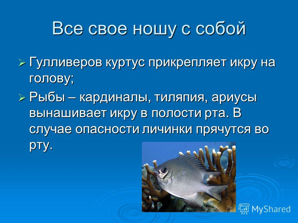 Все свое ношу с собой Гулливеров куртус прикрепляет икру на голову; Гулливеров куртус прикрепляет икру на голову; Рыбы – кардиналы, тиляпия, ариусы вынашивает икру в полости рта. В случае опасности личинки прячутся во рту. Рыбы – кардиналы, тиляпия,