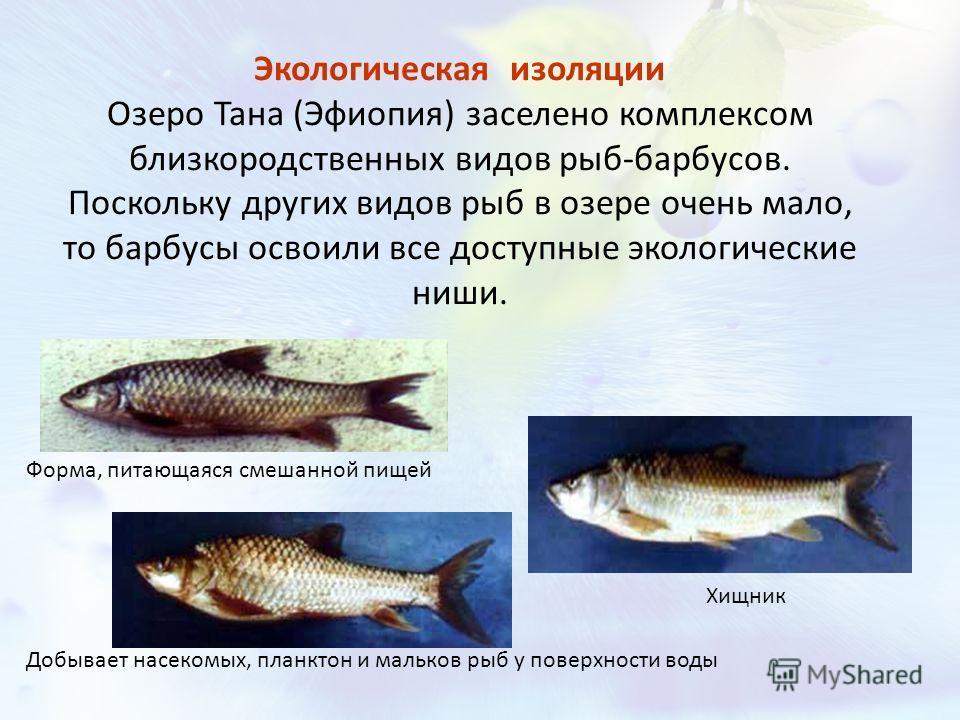 Экологическая изоляции Озеро Тана (Эфиопия) заселено комплексом близкородственных видов рыб-барбусов. Поскольку других видов рыб в озере очень мало, то барбусы освоили все доступные экологические ниши. Форма, питающаяся смешанной пищей Добывает насек