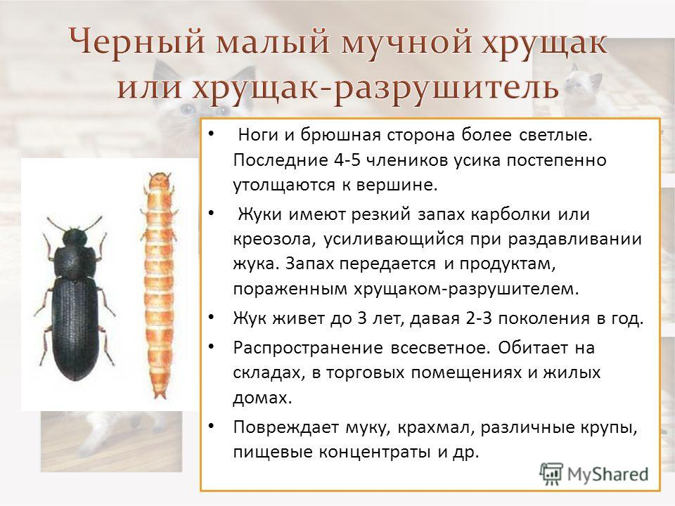 Ноги и брюшная сторона более светлые. Последние 4-5 члеников усика постепенно утолщаются к вершине. Жуки имеют резкий запах карболки или креозола, усиливающийся при раздавливании жука. Запах передается и продуктам, пораженным хрущаком-разрушителем. Ж