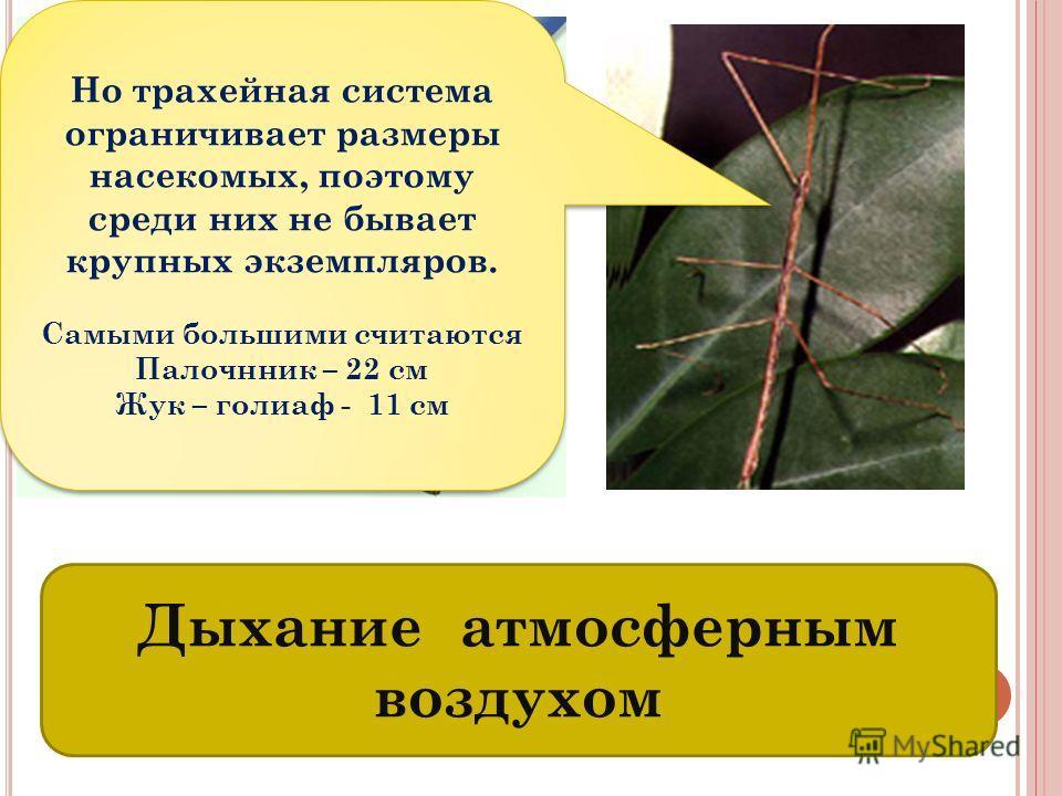 Т РАХЕИ – ОРГАНЫ ДЫХАНИЯ НАСЕКОМЫХ Дыхание атмосферным воздухом Но трахейная система ограничивает размеры насекомых, поэтому среди них не бывает крупных экземпляров. Самыми большими считаются Палочнник – 22 см Жук – голиаф - 11 см Но трахейная систем