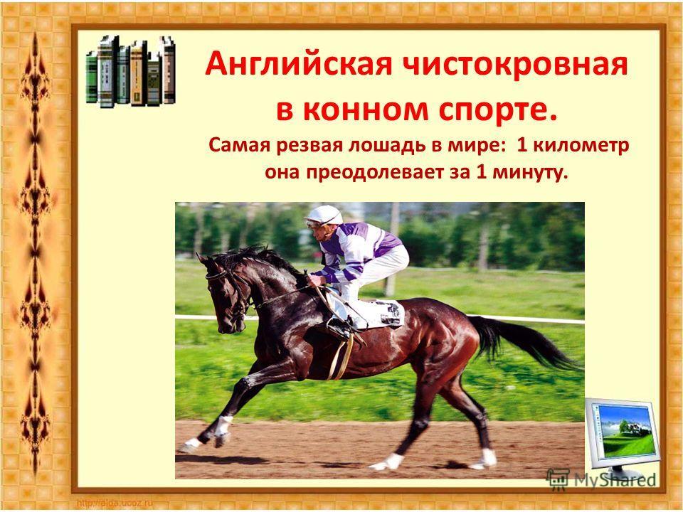 Английская чистокровная в конном спорте. Самая резвая лошадь в мире: 1 километр она преодолевает за 1 минуту.