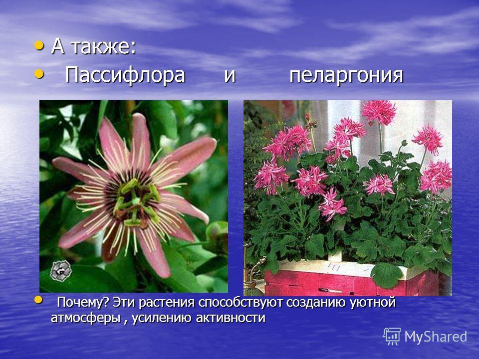 А также: А также: Пассифлора и пеларгония Пассифлора и пеларгония Почему? Эти растения способствуют созданию уютной атмосферы, усилению активности Почему? Эти растения способствуют созданию уютной атмосферы, усилению активности