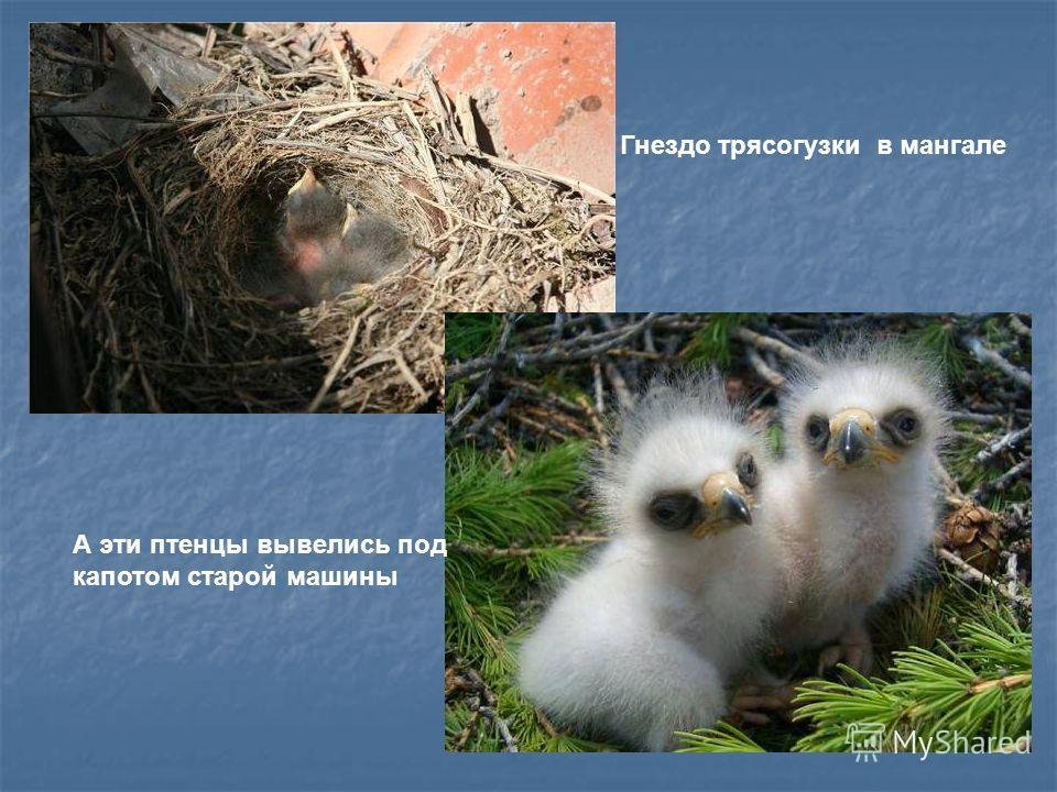 Свить гнездо может там, где ей понравится: за наличником окна, под крышей дома, за поленницей дров, в мангале, под капотом автомобиля. Голос у птички негромкий, но приятный, звенит, как колокольчик. В конце лета, собравшись в стайки, улетают трясогуз