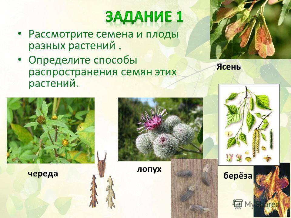 Рассмотрите семена и плоды разных растений. Определите способы распространения семян этих растений. череда лопух берёза Ясень