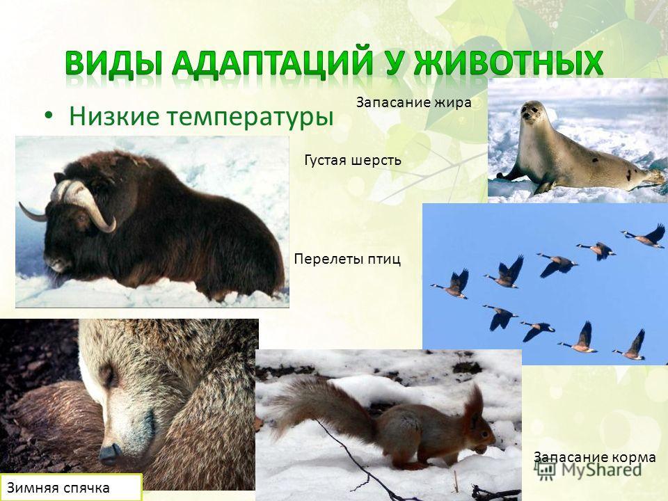 Низкие температуры Густая шерсть Запасание жира Перелеты птиц Зимняя спячка Запасание корма