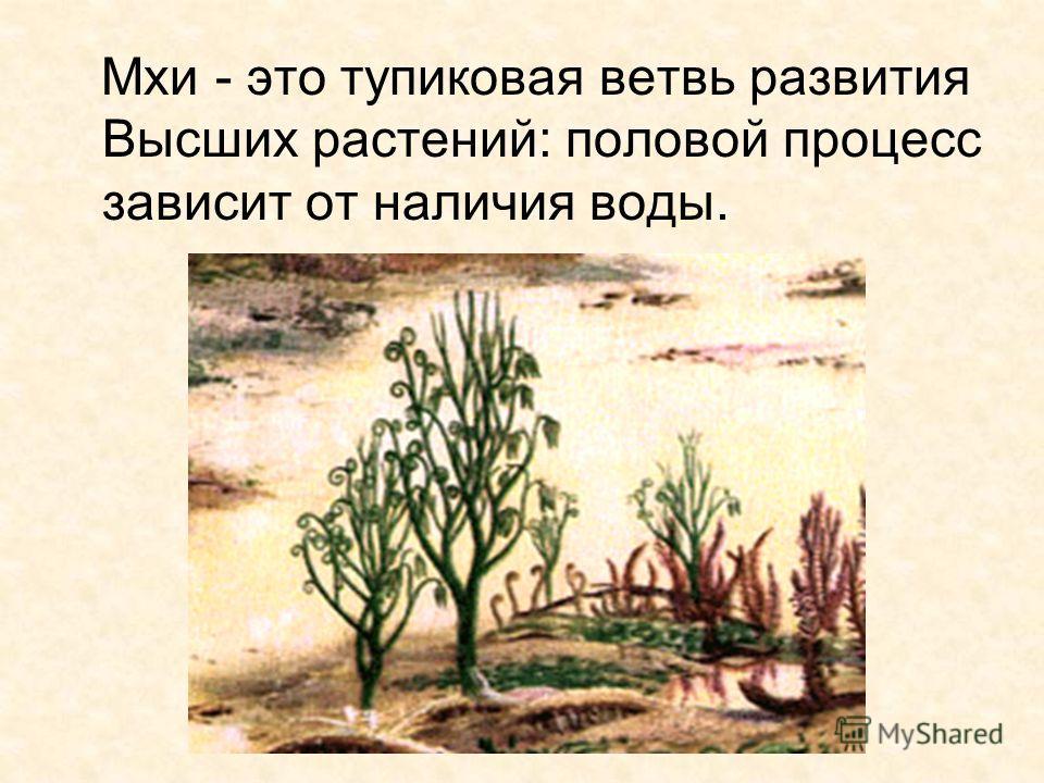 14 Мхи - это тупиковая ветвь развития Высших растений: половой процесс зависит от наличия воды.