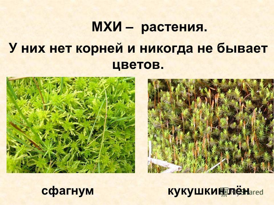 МХИ – растения. У них нет корней и никогда не бывает цветов. сфагнумкукушкин лён