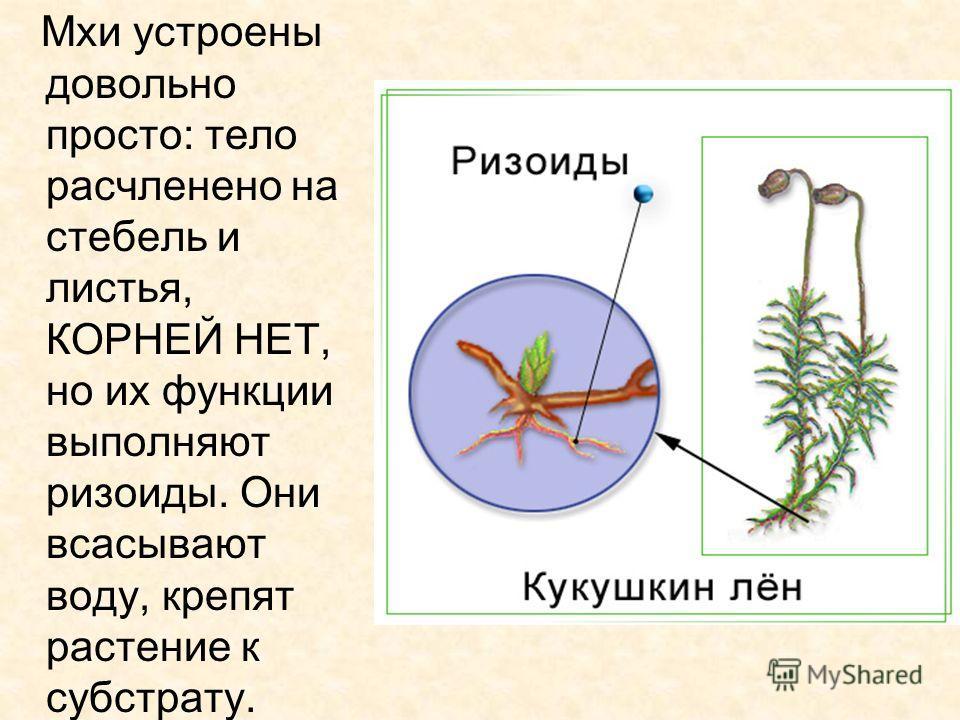 Мхи устроены довольно просто: тело расчленено на стебель и листья, КОРНЕЙ НЕТ, но их функции выполняют ризоиды. Они всасывают воду, крепят растение к субстрату.