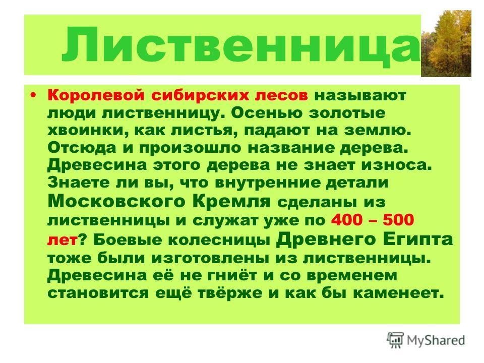 Лиственница Королевой сибирских лесов называют люди лиственницу. Осенью золотые хвоинки, как листья, падают на землю. Отсюда и произошло название дерева. Древесина этого дерева не знает износа. Знаете ли вы, что внутренние детали Московского Кремля с