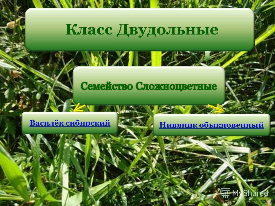 Василёк сибирский Нивяник обыкновенный
