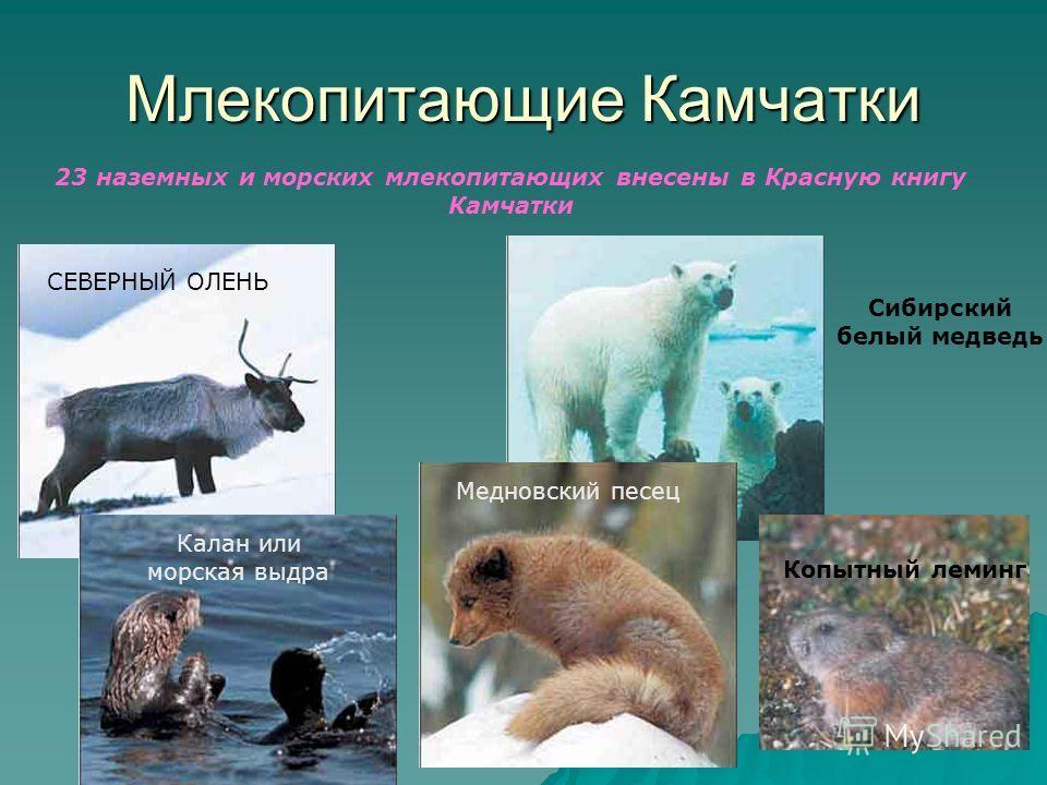 Млекопитающие Камчатки 23 наземных и морских млекопитающих внесены в Красную книгу Камчатки Копытный леминг СЕВЕРНЫЙ ОЛЕНЬ Медновский песец Калан или морская выдра Сибирский белый медведь