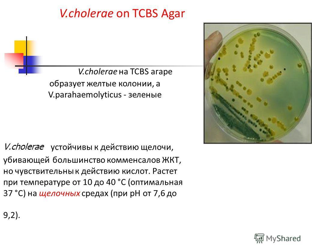 V.cholerae устойчивы к действию щелочи, убивающей большинство комменсалов ЖКТ, но чувствительны к действию кислот. Растет при температуре от 10 до 40 °С (оптимальная 37 °С) на щелочных средах (при рН от 7,6 до 9,2). V.cholerae on TCBS Agar V.cholerae