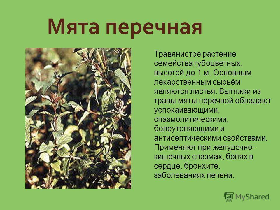 Мята перечная Травянистое растение семейства губоцветных, высотой до 1 м. Основным лекарственным сырьём являются листья. Вытяжки из травы мяты перечной обладают успокаивающими, спазмолитическими, болеутоляющими и антисептическими свойствами. Применяю