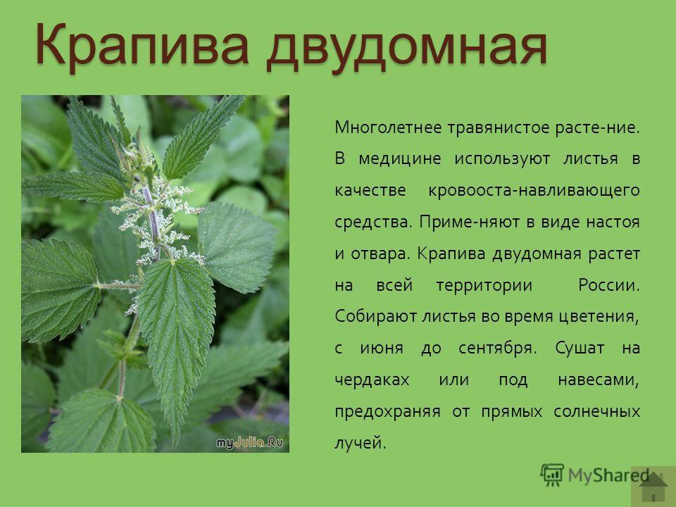 Крапива двудомная Многолетнее травянистое расте-ние. В медицине используют листья в качестве кровооста-навливающего средства. Приме-няют в виде настоя и отвара. Крапива двудомная растет на всей территории России. Собирают листья во время цветения, с