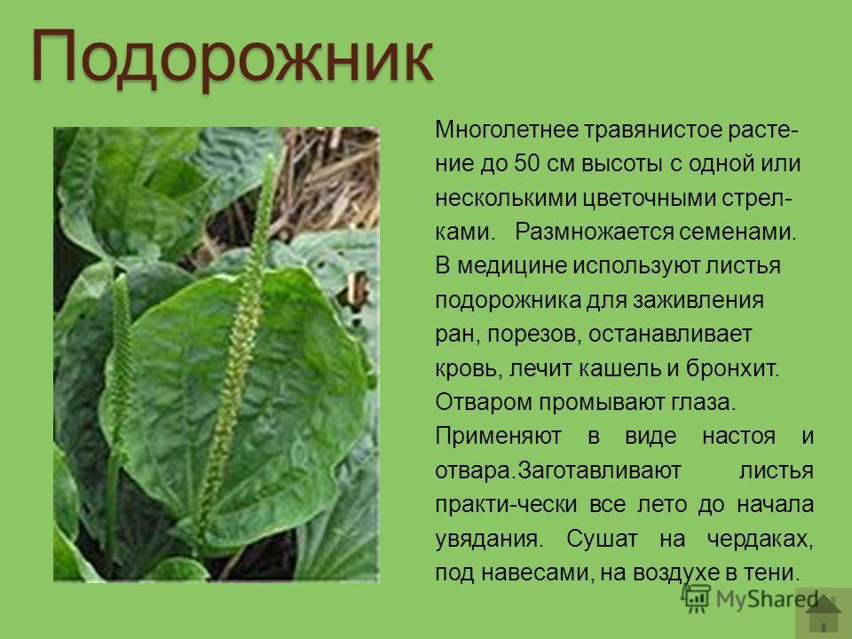 Многолетнее травянистое расте- ние до 50 см высоты с одной или несколькими цветочными стрел- ками. Размножается семенами. В медицине используют листья подорожника для заживления ран, порезов, останавливает кровь, лечит кашель и бронхит. Отваром промы