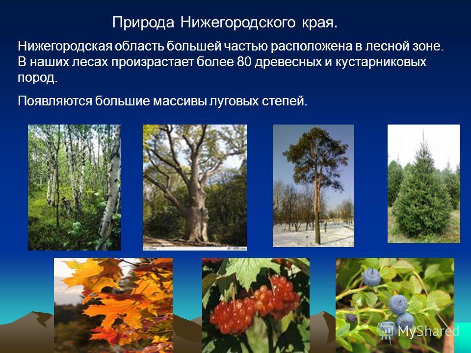 Природа Нижегородского края. Нижегородская область большей частью расположена в лесной зоне. В наших лесах произрастает более 80 древесных и кустарниковых пород. Появляются большие массивы луговых степей.