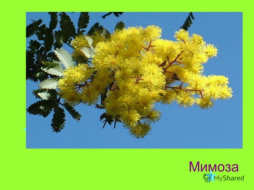 Цветок жёлто- золотистый, Как цыплёночек пушистый, Сразу вянет от мороза, Наша неженка … Отгадайте загадку: