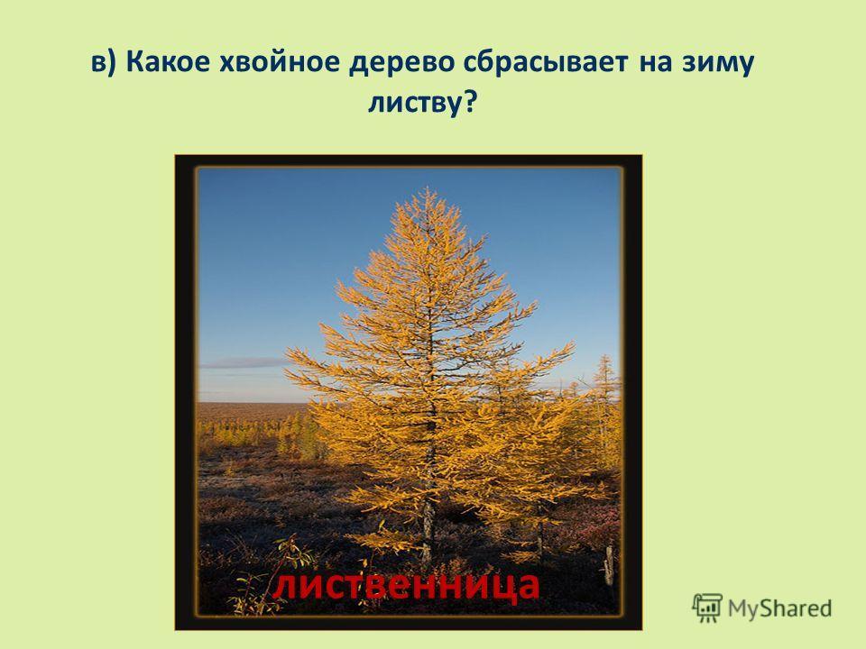в) Какое хвойное дерево сбрасывает на зиму листву? лиственница