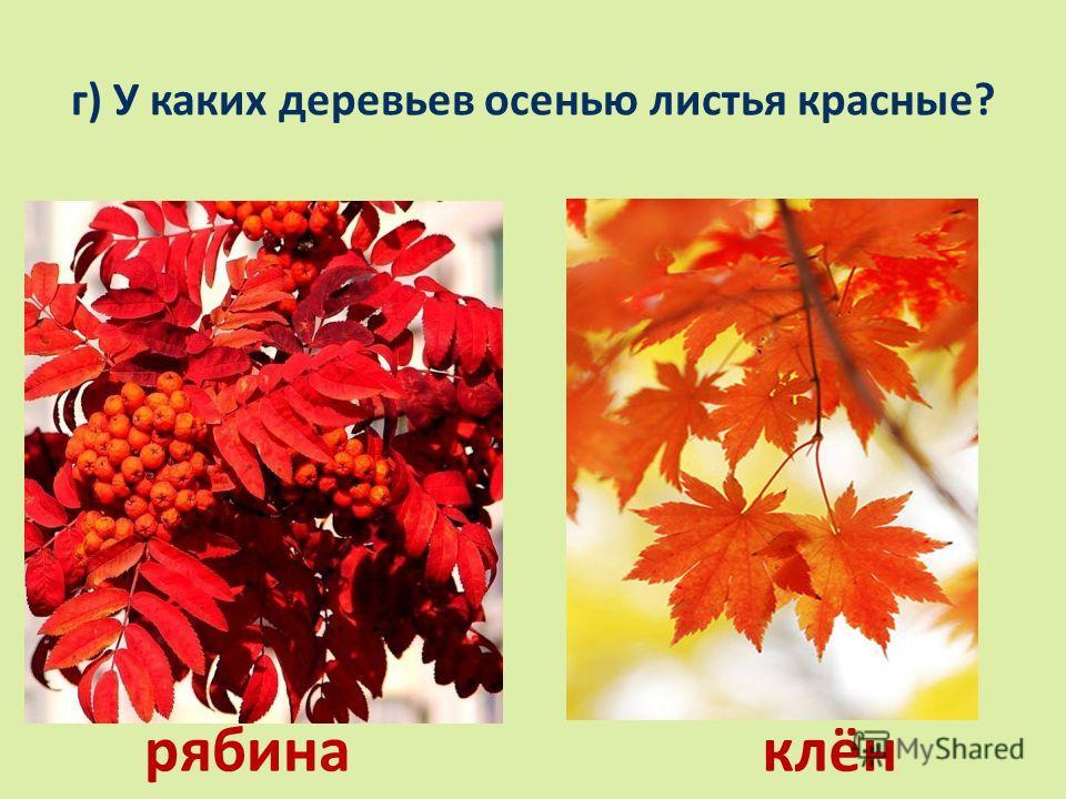 г) У каких деревьев осенью листья красные? рябинаклён