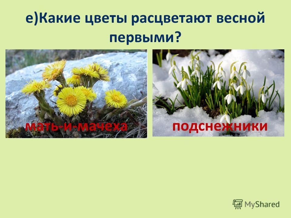 е)Какие цветы расцветают весной первыми? мать-и-мачехаподснежники