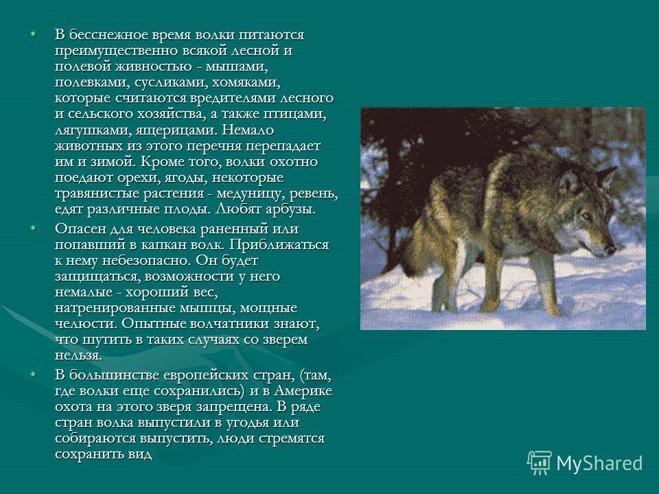 В бесснежное время волки питаются преимущественно всякой лесной и полевой живностью - мышами, полевками, сусликами, хомяками, которые считаются вредителями лесного и сельского хозяйства, а также птицами, лягушками, ящерицами. Немало животных из этого
