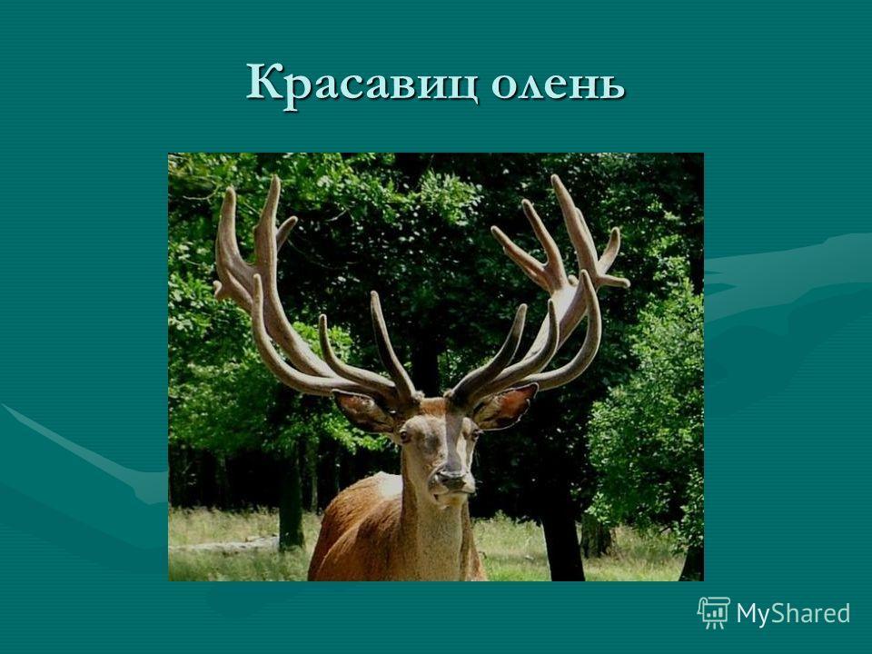 Красавиц олень