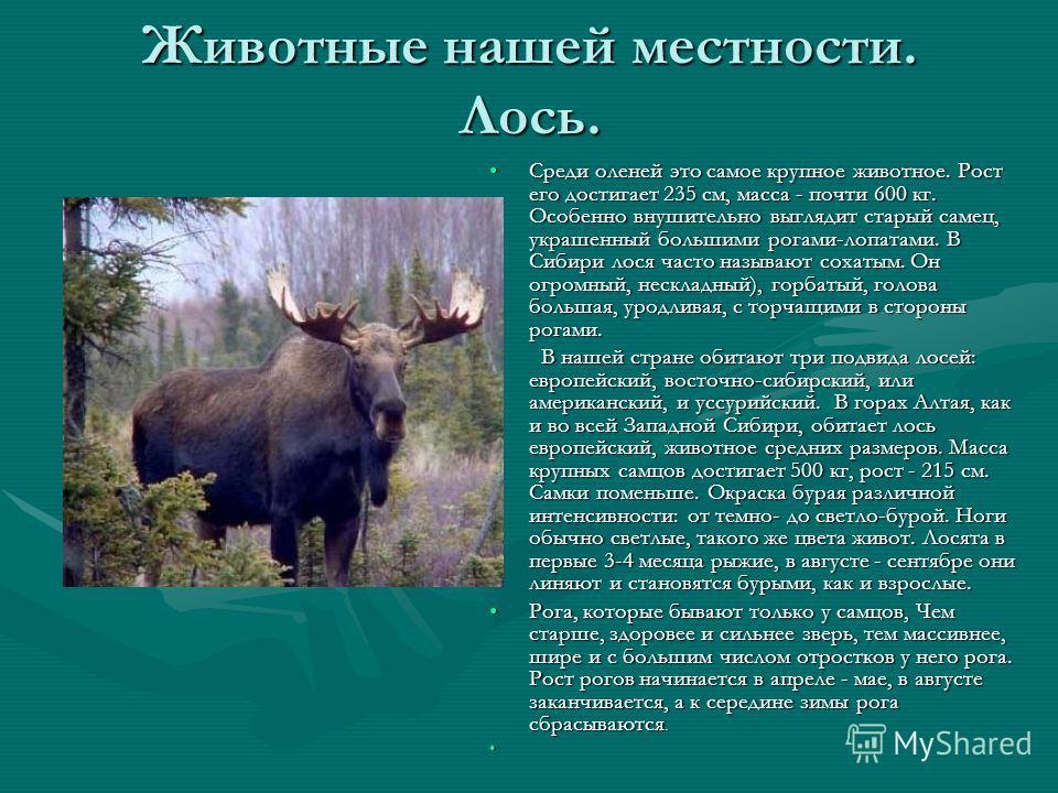 Животные нашей местности. Лось. Среди оленей это самое крупное животное. Рост его достигает 235 см, масса - почти 600 кг. Особенно внушительно выглядит старый самец, украшенный большими рогами-лопатами. В Сибири лося часто называют сохатым. Он огромн