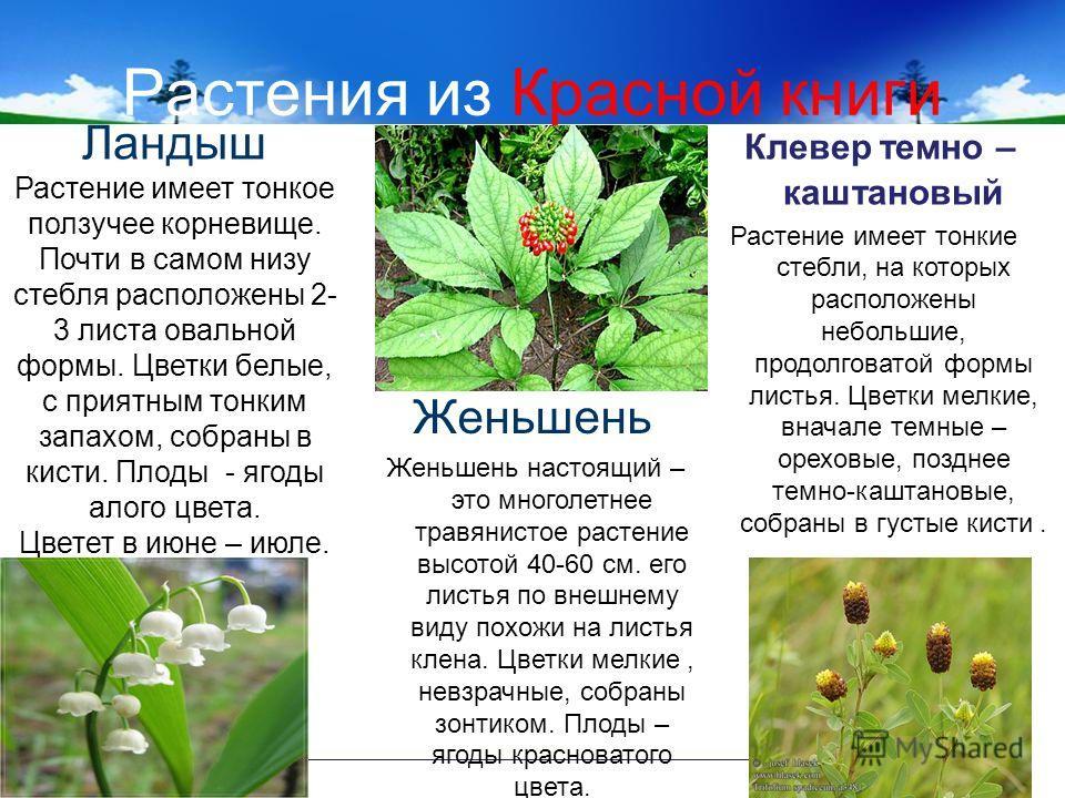 Растения из Красной книги Ландыш Растение имеет тонкое ползучее корневище. Почти в самом низу стебля расположены 2- 3 листа овальной формы. Цветки белые, с приятным тонким запахом, собраны в кисти. Плоды - ягоды алого цвета. Цветет в июне – июле. Жен
