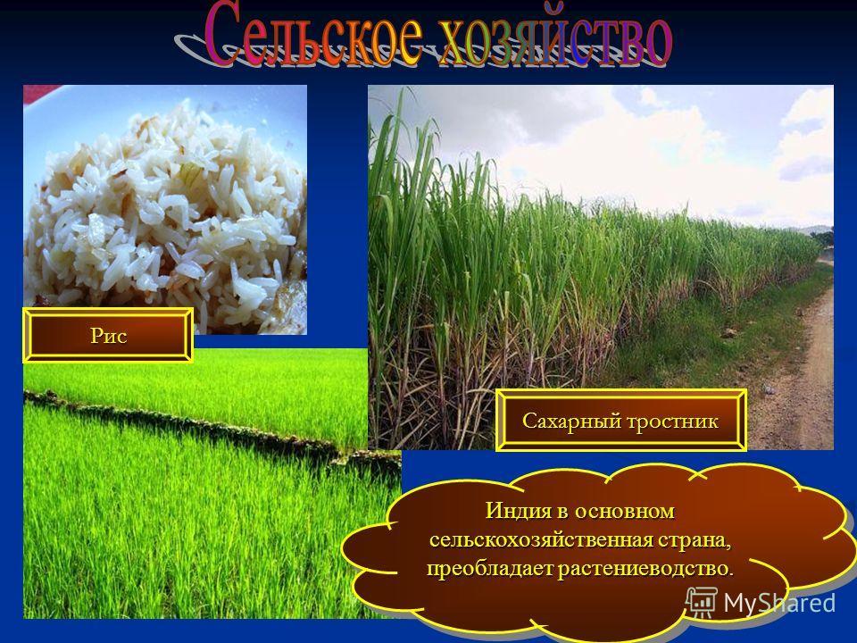 Индия в основном сельскохозяйственная страна, преобладает растениеводство. Рис Сахарный тростник