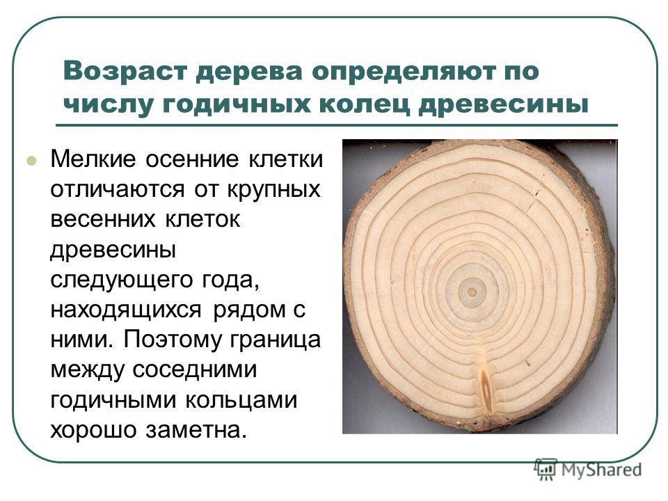 Возраст дерева определяют по числу годичных колец древесины Мелкие осенние клетки отличаются от крупных весенних клеток древесины следующего года, находящихся рядом с ними. Поэтому граница между соседними годичными кольцами хорошо заметна.