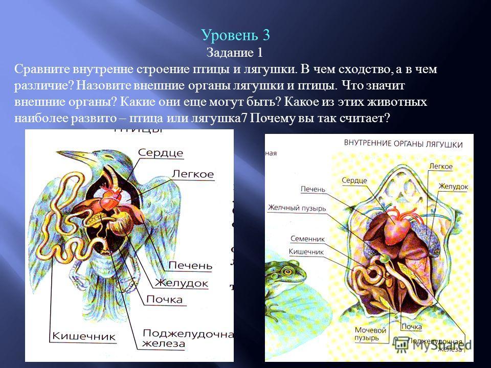 Уровень 3 Задание 1 Сравните внутренне строение птицы и лягушки. В чем сходство, а в чем различие? Назовите внешние органы лягушки и птицы. Что значит внешние органы? Какие они еще могут быть? Какое из этих животных наиболее развито – птица или лягуш