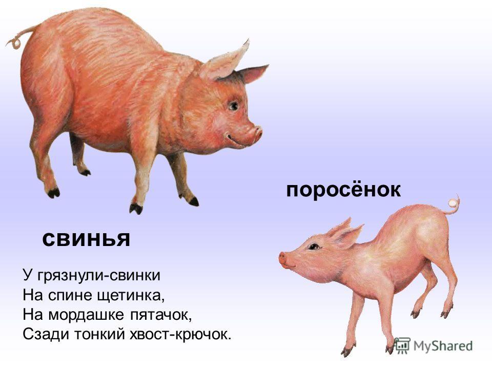 свинья У грязнули-свинки На спине щетинка, На мордашке пятачок, Сзади тонкий хвост-крючок. поросёнок