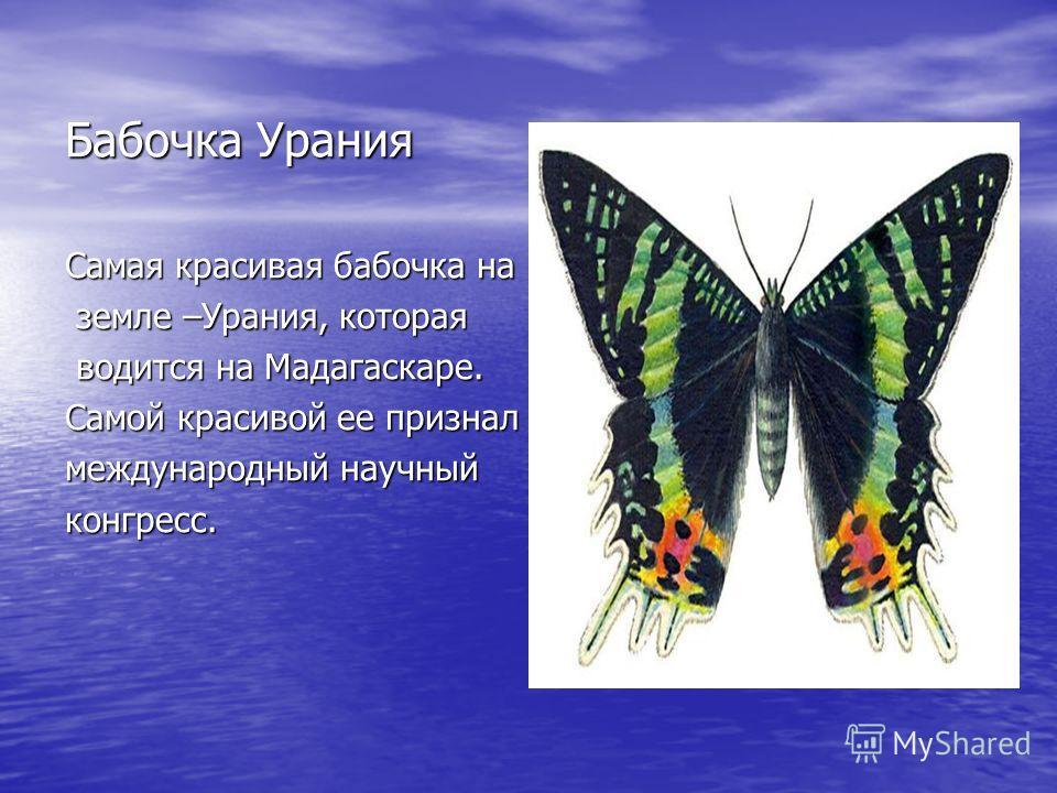 Бабочка Урания Самая красивая бабочка на земле –Урания, которая земле –Урания, которая водится на Мадагаскаре. водится на Мадагаскаре. Самой красивой ее признал международный научный конгресс.