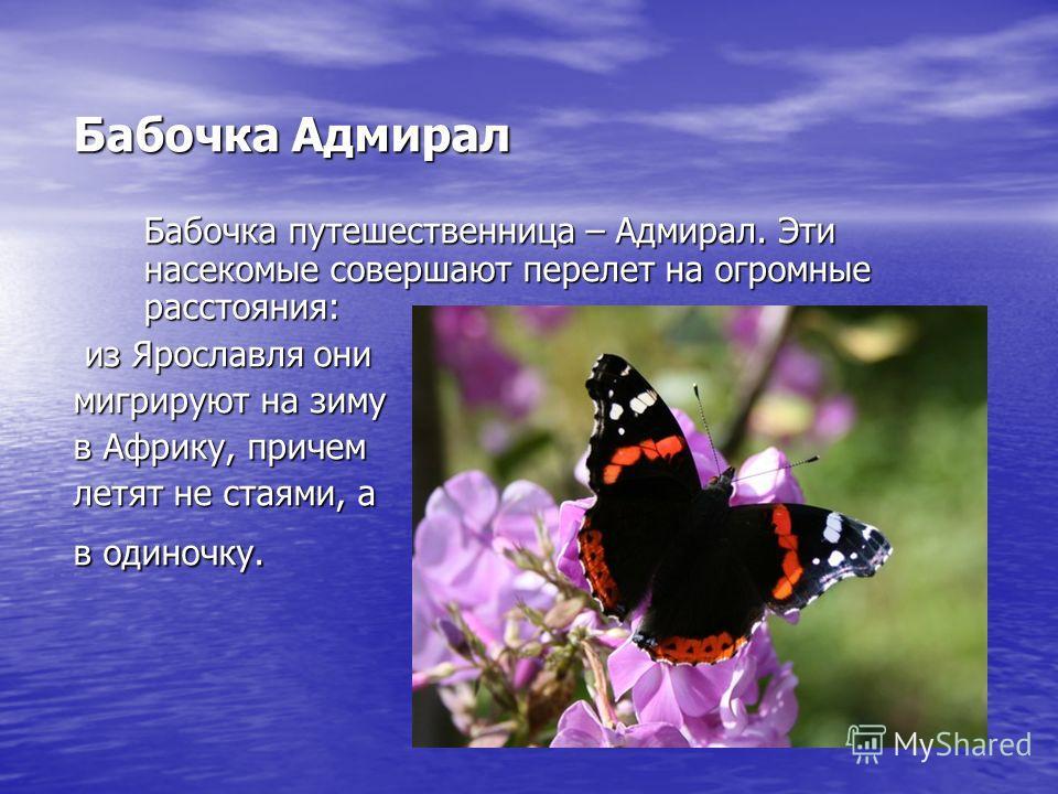 Бабочка Адмирал Бабочка путешественница – Адмирал. Эти насекомые совершают перелет на огромные расстояния: из Ярославля они из Ярославля они мигрируют на зиму в Африку, причем летят не стаями, а в одиночку.
