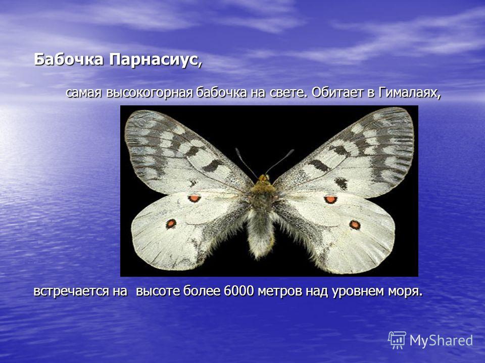 Бабочка Парнасиус, самая высокогорная бабочка на свете. Обитает в Гималаях, встречается на высоте более 6000 метров над уровнем моря.