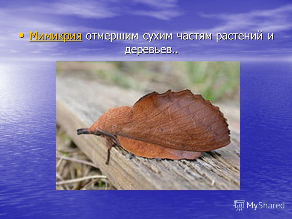 Мимикрия отмершим сухим частям растений и деревьев.. Мимикрия отмершим сухим частям растений и деревьев.. Мимикрия