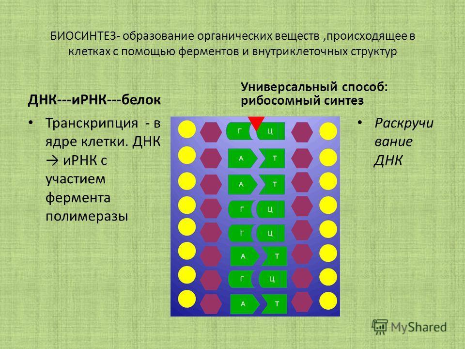 БИОСИНТЕЗ- образование органических веществ,происходящее в клетках с помощью ферментов и внутриклеточных структур ДНК---иРНК---белок Транскрипция - в ядре клетки. ДНК иРНК с участием фермента полимеразы Универсальный способ: рибосомный синтез Раскруч
