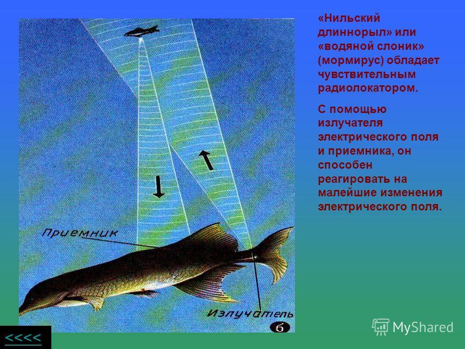 «Нильский длиннорыл» или «водяной слоник» (мормирус) обладает чувствительным радиолокатором. С помощью излучателя электрического поля и приемника, он способен реагировать на малейшие изменения электрического поля.