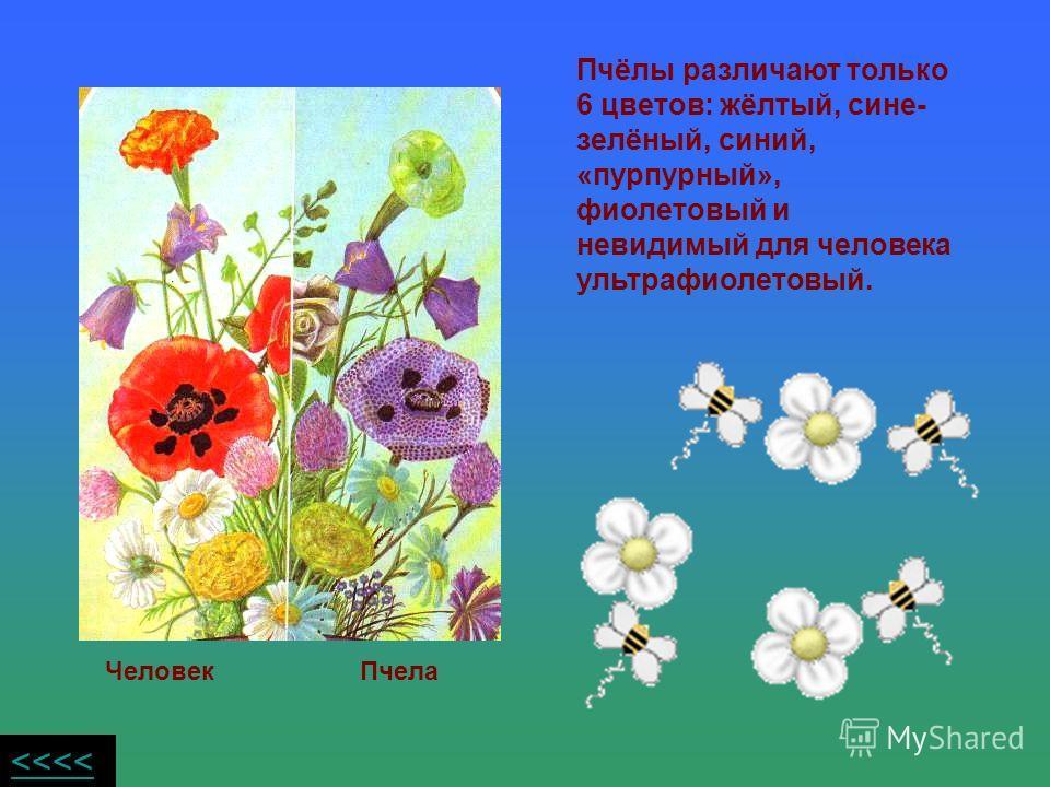 Пчёлы различают только 6 цветов: жёлтый, сине- зелёный, синий, «пурпурный», фиолетовый и невидимый для человека ультрафиолетовый. Человек Пчела